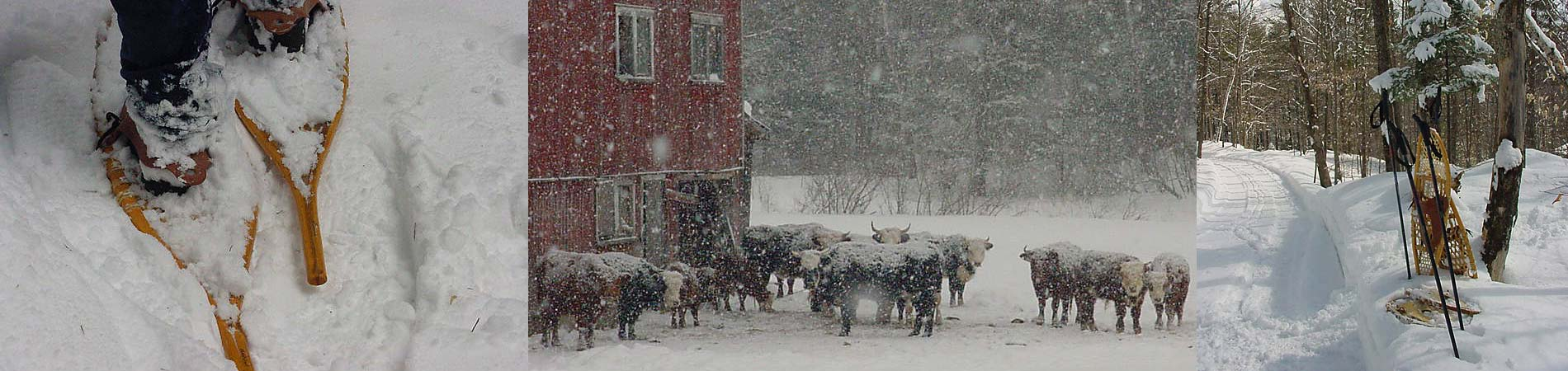 vermont-winter-cows-snowshoes